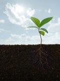 Planta con las raíces Imagen de archivo libre de regalías