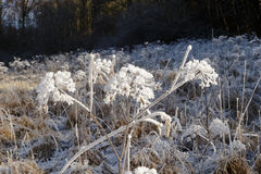 Planta congelada Fotografia de Stock Royalty Free
