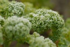 Planta congelada da couve Foto de Stock