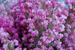 Planta congelada da urze Fotos de Stock Royalty Free