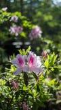 Planta cor-de-rosa da flor em um parque Fotografia de Stock Royalty Free