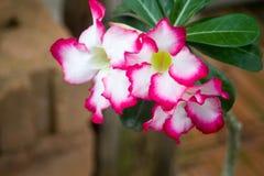 Planta cor-de-rosa do deserto com fundo do borrão fotos de stock royalty free