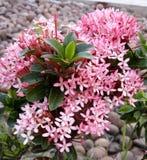 Planta cor-de-rosa do ixora Fotografia de Stock Royalty Free