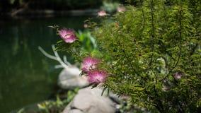 Planta cor-de-rosa de Powderpuff em um parque Imagens de Stock Royalty Free