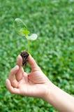 Planta cosechada del brote sostenida en la mano de la mujer Imagen de archivo