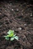 Planta creciente Imagen de archivo