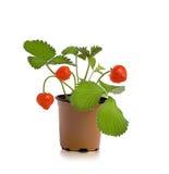Planta creciente con strawbwrry Fotografía de archivo libre de regalías