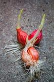 Planta creciente de la cebolla con la raíz Imágenes de archivo libres de regalías