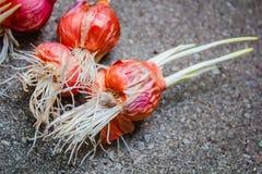 Planta creciente de la cebolla con la raíz Imagen de archivo libre de regalías