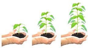 Planta crescente Fotos de Stock
