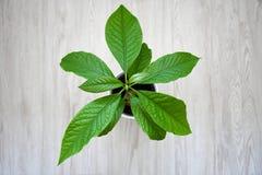 Planta crescente do abacate da casa pequena imagens de stock