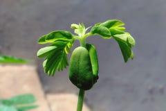 Planta crescente do Tamarindo Fotografia de Stock Royalty Free