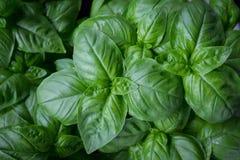 Planta crescente fresca da erva da manjericão Fotos de Stock Royalty Free