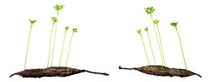 Planta crescente nova Imagens de Stock Royalty Free
