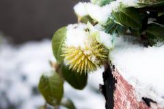 Planta cubierta con nieve Fotos de archivo