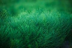 Planta curativa de la cola de caballo (Equisetum) Imagen de archivo libre de regalías