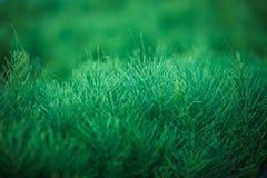 Planta curativa de la cola de caballo (Equisetum) Fotos de archivo