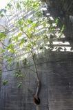 Planta da árvore de figo que cresce fora do muro de cimento através do cano ho Imagens de Stock