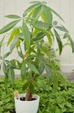 Planta da árvore do dinheiro fora fotos de stock royalty free