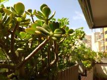 Planta da árvore do jade fotos de stock royalty free