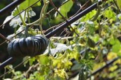 Planta da abóbora Imagem de Stock