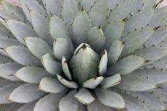 Planta da agave imagem de stock