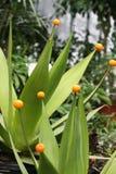 planta da agave Imagens de Stock