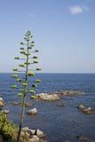 Planta da agave próximo o mar Mediterrâneo Fotos de Stock