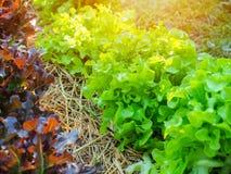Planta da alface do carvalho verde e vermelho na exploração agrícola Imagens de Stock Royalty Free