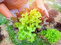 Planta da alface do carvalho verde e vermelho na exploração agrícola Fotografia de Stock