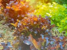 Planta da alface do carvalho verde e vermelho na exploração agrícola Imagem de Stock Royalty Free