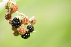 Planta da amora-preta Foto de Stock
