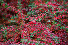 Planta da bérberis Fotos de Stock