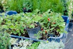 Planta da baga da agricultura no recipiente foto de stock royalty free