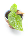 Planta da begónia da asa do anjo foto de stock royalty free
