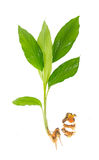 Planta da cúrcuma no branco Imagem de Stock Royalty Free