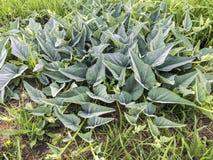 Planta da cabaça de búfalo Imagens de Stock Royalty Free