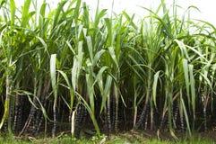 Planta da cana-de-açúcar Foto de Stock Royalty Free