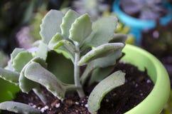 Planta da planta carnuda de Kalanchoe Millottii imagem de stock royalty free