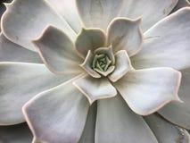Planta da planta carnuda do cacto do fundo natural Foto de Stock