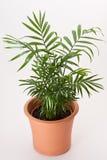 Planta da casa de Chamaedorea Foto de Stock