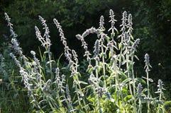 A planta da cordeiro-orelha foto de stock