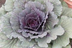 Planta da couve Imagem de Stock Royalty Free