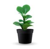 Planta da decoração no potenciômetro isolado Imagem de Stock Royalty Free