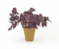Planta da erva da manjericão no potenciômetro tan da turfa Foto de Stock Royalty Free