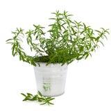 Planta da erva do Hyssop fotos de stock