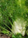 Planta da erva-doce Imagem de Stock Royalty Free