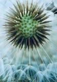 Planta da flor do dente-de-leão fotografia de stock