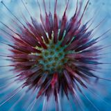 Planta da flor do dente-de-leão imagem de stock royalty free