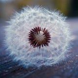 planta da flor do dente-de-le?o no ver?o na natureza foto de stock royalty free